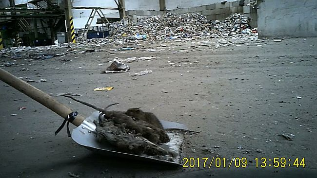Saša skuplja mrtve štakore u tvorničkoj hali (FOTO: Apolena Rychlíková/Češka televizija)